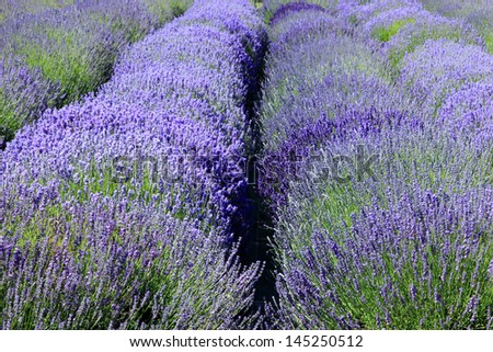 Purple lavender field in bloom, Washington, USA. - stock photo