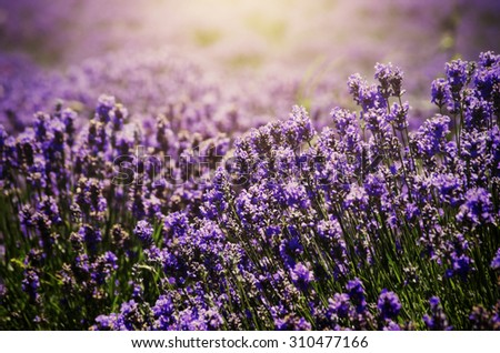 Purple Lavender Field in Sunny Summer Day