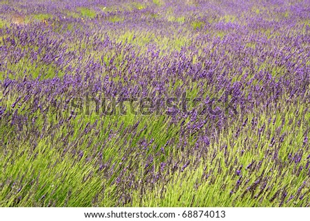 purple lavender fields in Paarl, South Africa, closeup for texture or background - stock photo