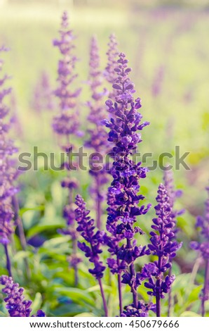 Purple lavender flower blooming in the fields with a soft warm light filter and vintage. - stock photo