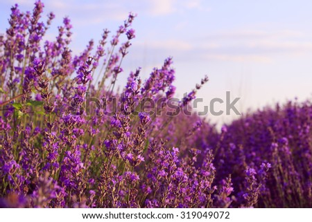 Purple lavender flowers in the field background