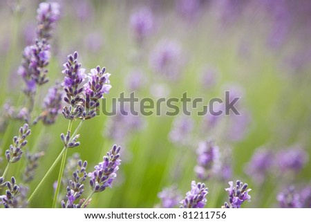 Purple lavender flowers on a green background