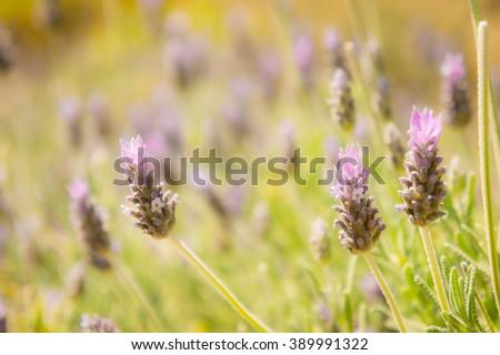 Purple lavender flowers. Summer lavender flowers. Lavender flower. Lavender flower blossom. Lavender flower field. Beautiful lavender flower. Flower bloom. Lavender flower close up. Purple flower. - stock photo