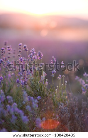 purple lavender flowers - Sunset over a summer lavender field .