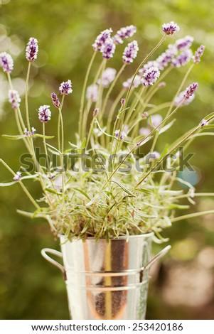 purple lavender in the bucket - stock photo