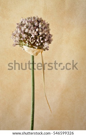 purple leek flower
