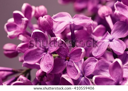 Purple Lilac closeup
