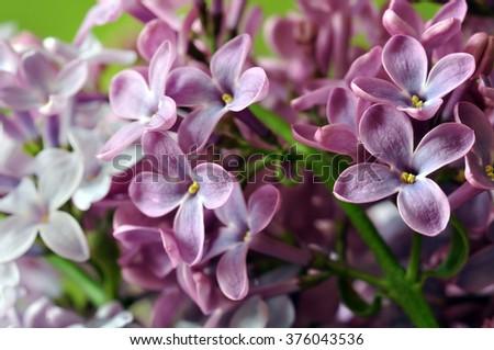 Purple lilac flowers - stock photo