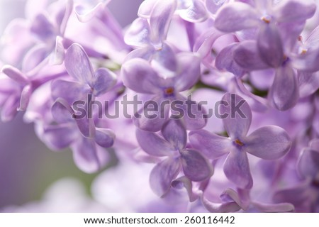 Purple lilac flowers / Syringa vulgaris background - stock photo