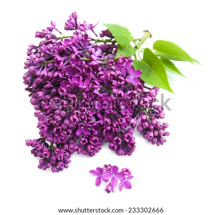 Purple Lilacs flowers on a white background - stock photo