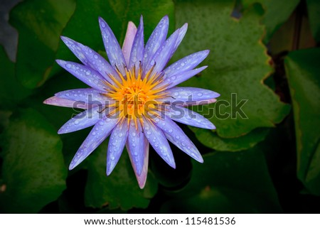 purple lily lotus with fresh water dew and green leaves background - stock photo