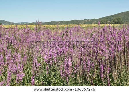 purple loosestrife in bloom