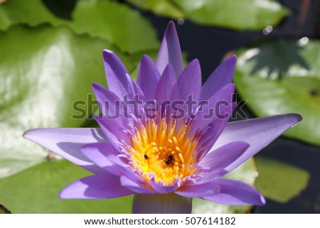 Purple Lotus blooming in hard sunlight with bee's body in the center of stigma