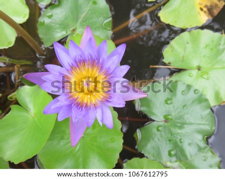 Purple lotus flower floating above muddy stock photo 1067612795 purple lotus flower floating above the muddy waters represent purity and beauty in the religions of mightylinksfo