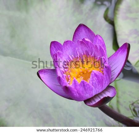 Purple lotus in the pond - stock photo