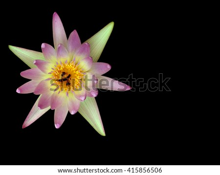 Purple Lotus.Lotus isolated on black.Bee sucking nectar pollen lotus. - stock photo