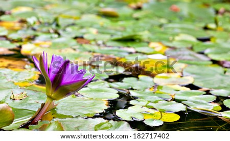 Purple lotus water Lilly flower blooming at the garden pond. Tranquil scene - stock photo