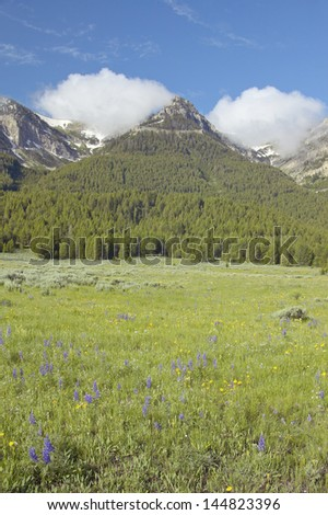 Purple lupine and mountains in Centennial Valley near Lakeview, MT - stock photo