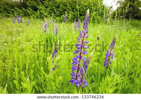 Purple lupine blooming in green grass, summer day - stock photo