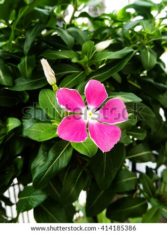 Purple Madagascar Periwinkle or Catharanthus roseus flowers blooming during summer in Thailand. - stock photo