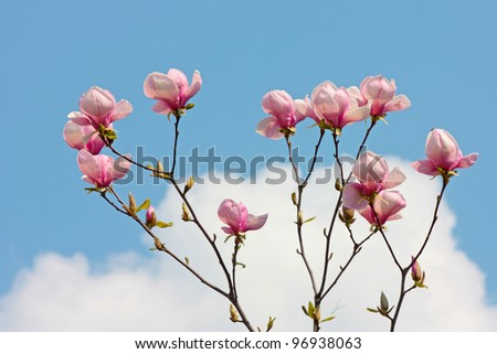 purple magnolia flowers beautiful  sky - stock photo