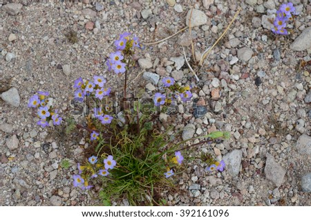 Purple Mat flowers during 2016 Super Bloom in Death Valley