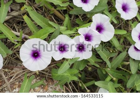 Purple morning glory vine white flowers stock photo edit now purple morning glory vine white flowers on the ground mightylinksfo