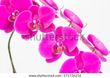 Purple Moth orchids close up over white background