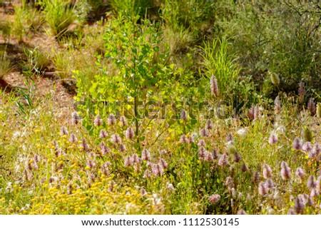 Purple mulla mulla flowers ptilotus exaltatus stock photo download purple mulla mulla flowers ptilotus exaltatus growing wild in spring near alice springs in mightylinksfo