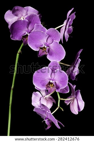 Purple multiple Orchids - stock photo