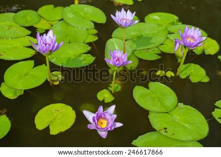 Purple natural lotus in pond. - stock photo