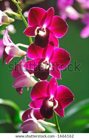 Purple Orchid Close up - stock photo