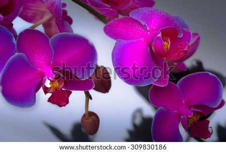 Purple Orchid Flower over neutral grey background - stock photo