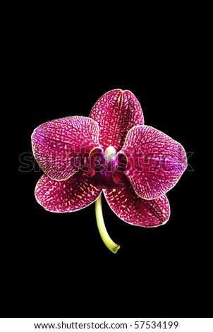 purple orchid on dark background - stock photo