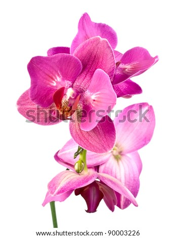 purple orchid phalaenopsis over white background.