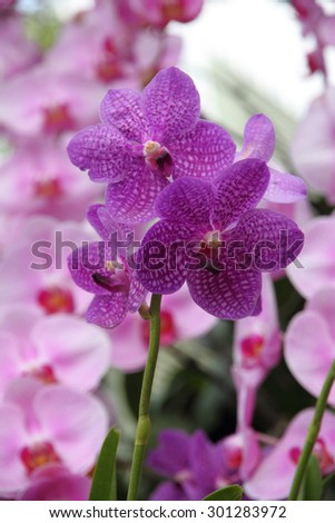 Purple orchid, Vanda coerulea  - stock photo