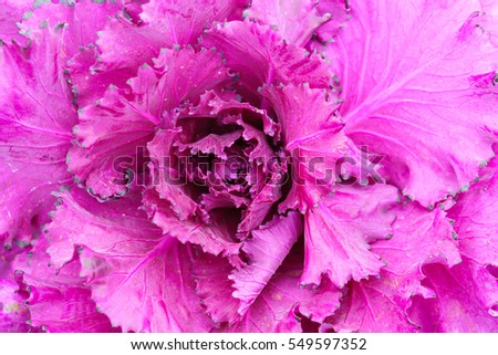 purple ornamental cabbage detail close up background texture