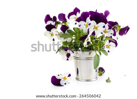 Purple pansies in bucket. Isolated on white background. - stock photo
