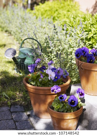 Purple pansies in flower pots