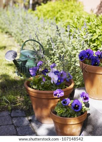 Purple pansies in flower pots - stock photo