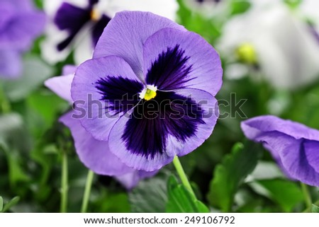 Purple Pansies with extreme shallow depth of field. - stock photo