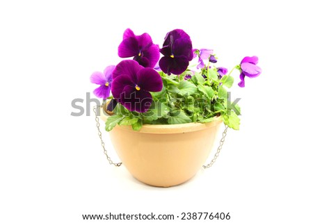 Purple Pansy or viola flowers in hanging basket isolated on white background  - stock photo