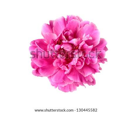 Purple peony flower isolated on white background - stock photo