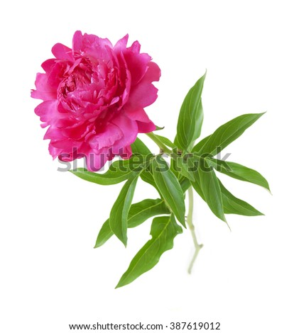 Purple peony isolated on white background - stock photo