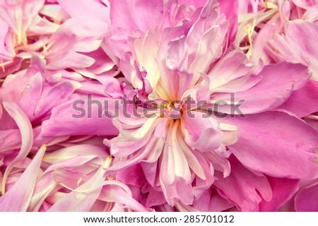 Purple peony petals as background