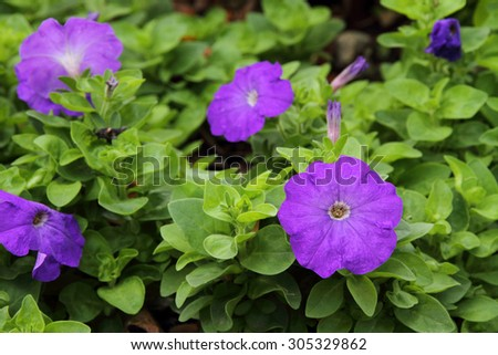 Purple Petunia flower  - stock photo