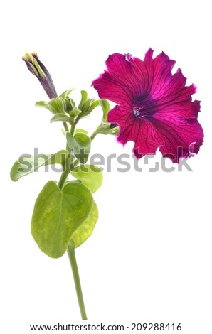 Purple petunia flower isolated on white background - stock photo