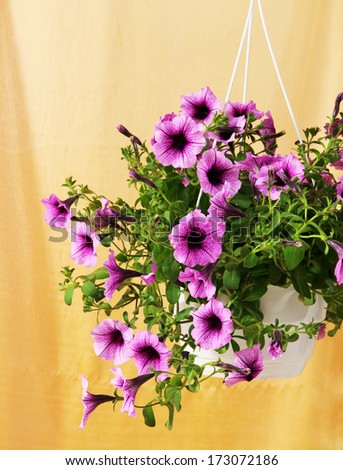 Purple petunia in flowerpot on cloth background - stock photo