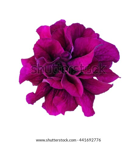 Purple petunia isolated on white background - stock photo
