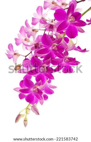 Purple Phalaenopsis orchids close up - stock photo